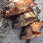 メバル釣り – 伊豆 – 2014/6/14
