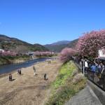 河津桜まつりとみなみの桜と菜の花まつり