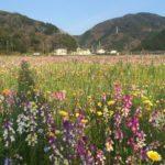 松崎の田んぼをつかった花畑